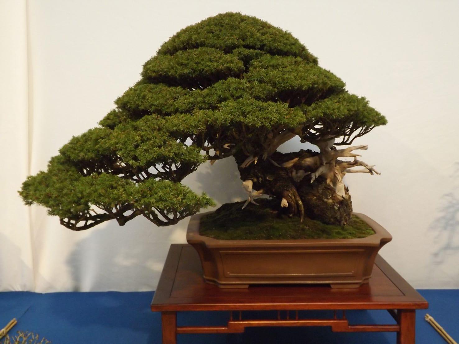 Prix bonsai - Bonsai arbre prix ...