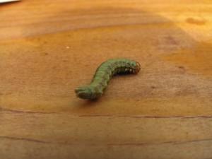 Acantholyda hieroglyphica larve IMG_8710