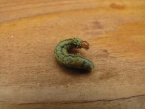 Acantholyda hieroglyphica larve IMG_8718