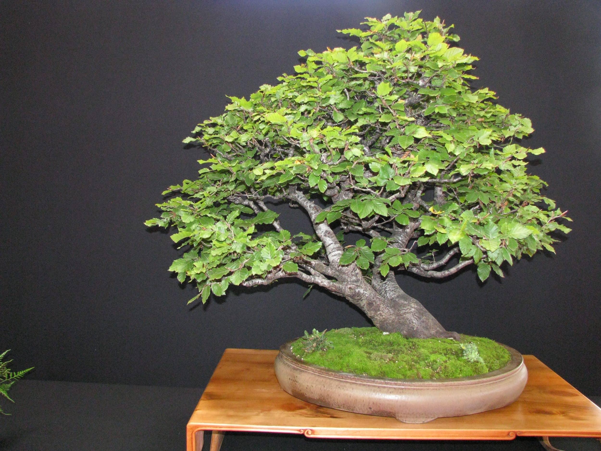 Un hêtre, parfaite traduction de l'allure que prend l'arbre en montage – Sébastien Puy Laboa