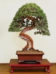 Juniperus Chinesis Itoigawa Antoine Toully  rectifié.jpg