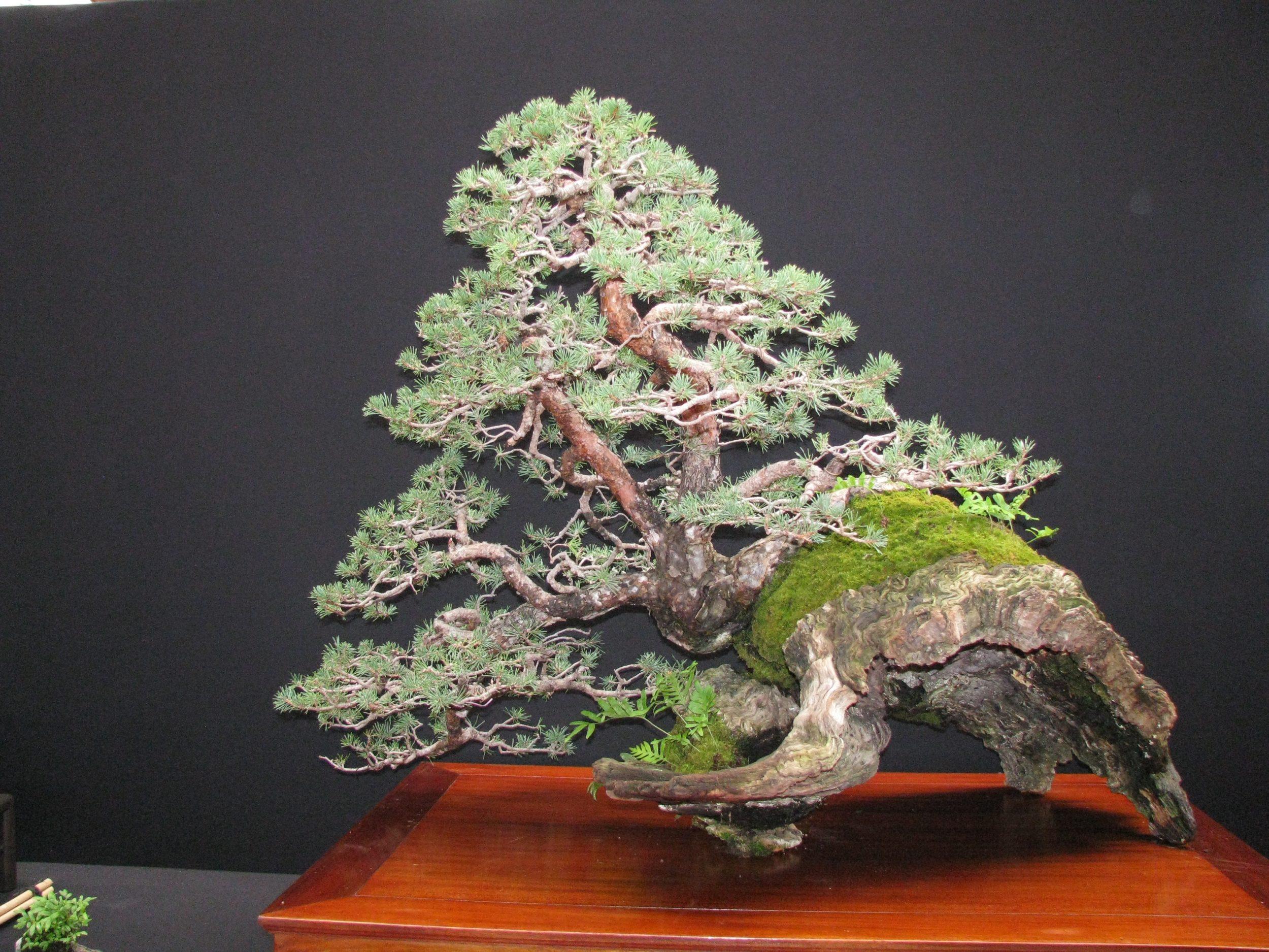 pin sylvestre de Baudouin de Lorgeril